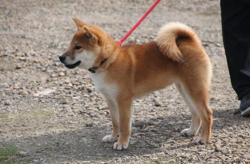 三河の竜成号【三河豊橋荘】 幼犬賞 2