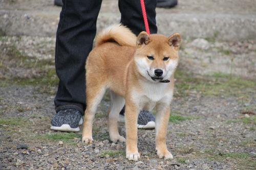 三河の竜成号【三河豊橋荘】 幼犬賞